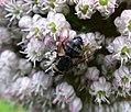 Tachinidae. Eurithia anthophila (36214350342).jpg