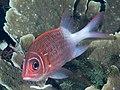 Tailspot squirrelfish (Sargocentron caudimaculatum) (47616069571).jpg