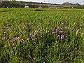 Tajimagahara Wild Primrose 09.jpg