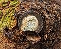 Tak wond van een spar (Picea) bedekt met schimmel 02.jpg