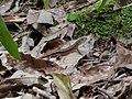 Takydromus tachydromoides in Kaisho Forest.jpg