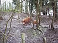 Tamworth Pigs near Tidpit - geograph.org.uk - 372876.jpg