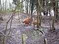 Tamworth Pigs near Tidpit - geograph.org.uk - 372876.jpg