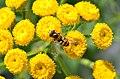 Tanacetum vulgare (8353602072).jpg