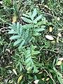 Tanacetum vulgare 55075496.jpg