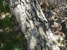 Tapia arbre wikip dia - Arbre ver a soie ...