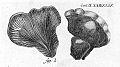 Tapinella panuoides (Buxbaum, 1728).JPG