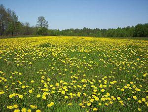 Taraxacum officinale - A field of dandelions in Mazovia, Poland