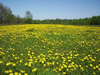 Taraxacum officinale - A field of dandelions in Mazovia, Poland