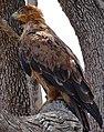 Tawny Eagle (Aquila rapax) (33279905026).jpg