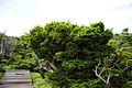 Taxus cuspidata Halla-san 1.jpg