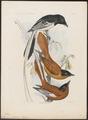 Tchitrea mutata - 1868 - Print - Iconographia Zoologica - Special Collections University of Amsterdam - UBA01 IZ16500051.tif