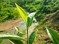 Tea leaf.jpg