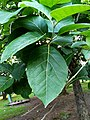 Teak tree with leaves 2.jpg