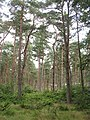 Tentsmuir Forest - geograph.org.uk - 1452385.jpg