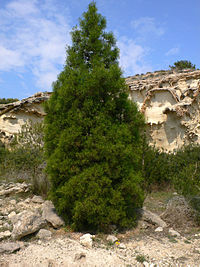 Tetraclinis articulata in the mountains of Cartagena, Spain