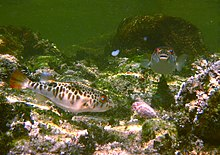 Two fish with brown markings swim in shallow water.