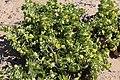 Tetraena stapfii 2 MHNT.jpg