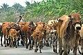Thailand-3616 - Follow those cows.. (3699885490).jpg