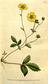The Botanical Magazine, Plate 75 (Volume 3, 1790).png