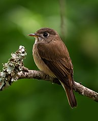 The Brown Breasted Flycatcher Wikimedia Commons