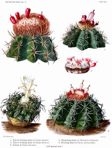 The Cactaceae Vol III, plate XXIV filtered.jpg