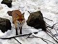 The Fox (4374597361).jpg