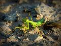 The Little Mantis.jpg