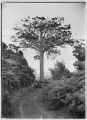 The Lone Kauri tree on the West Coast Road, North Auckland. ATLIB 264630.png