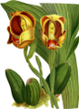 The Orchid Album-01-0059-0019-Anguloa ruckerii sanguinea-crop.png