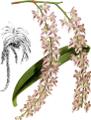 The Orchid Album-01-0065-0021-Aerides lobbii-crop.png