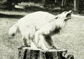 The book of dogs (1919) Timber wolf x collie hybrid.png