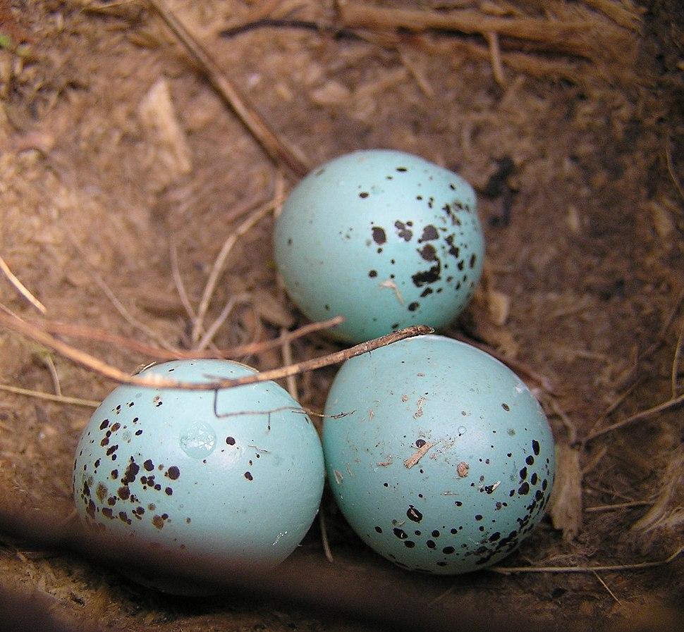 Three Song Thrush (Turdus philomelos) eggs