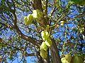 Three sided pod flowering tree - panoramio.jpg