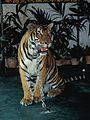 Tier Tiger angekettet Bangkok Thailand.jpg