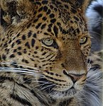 Tierpark Cottbus China-Leopard5.jpg