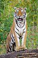 Tiger (15699659213).jpg