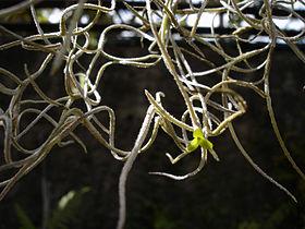 Tillandsia-usneoides-Mascarin.jpg