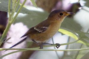 Tinian monarch - Tinian monarch (Monarcha takatsukasae)
