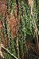 Tmesipteris obliqua on Dicksonia.jpg