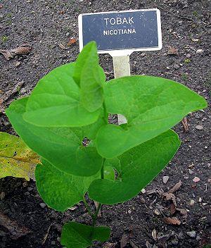 plantatabaco