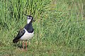 Tofsvipa Northern Lapwing (14286716539).jpg