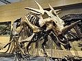 Torosaurus, is it? (20752673005).jpg