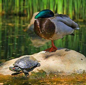 Sauropsida - A red eared slider and a mallard; both are sauropsids