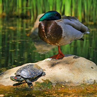 Sauropsida - A red-eared slider and a mallard; both are sauropsids