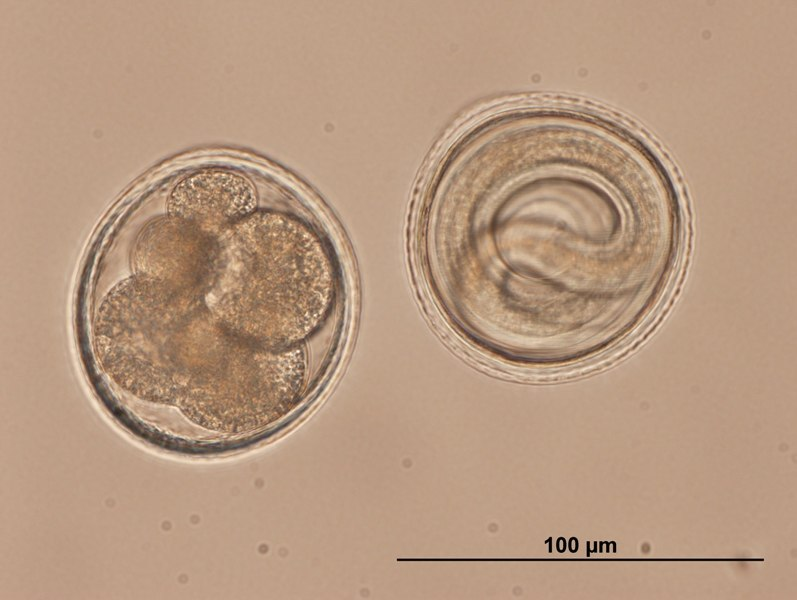 Toxocara embryonated eggs