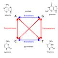 Transitions-transversions-v2.png