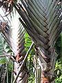 Traveller's tree (7189937895).jpg