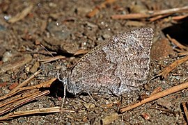 Tree grayling (Hipparchia statilinus).jpg