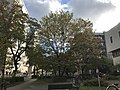 Tree of Hippocrates in Maidashi Campus of Kyushu University.jpg